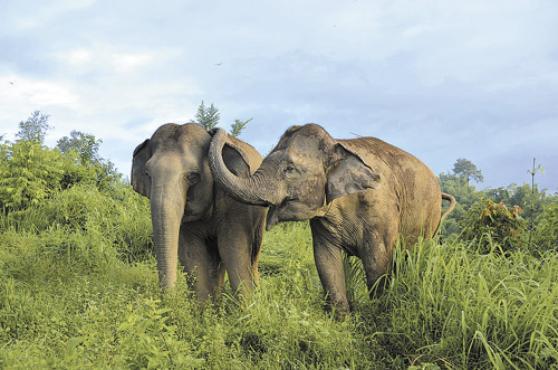 Os animais usam a tromba para acariciar e acalmar os amigos, segundo estudo feito em santuário da Tailândia (E. Gilchrist /Divulgação)