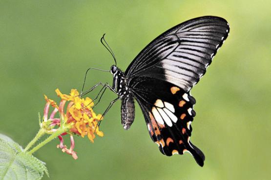 Esp�cime da borboleta Papilio polytes, analisada no estudo: gene que permite a mimetiza��o � o mesmo que promove a diferencia��o sexual (Khew Sin Khoo/Divulga��o)