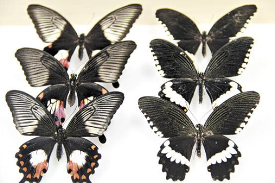 A aus�ncia da variante gen�tica impede que alguns animais da esp�cie se camuflem (� direita) (Universidade de Chicago/Marcus Kronforst/Divulga��o)