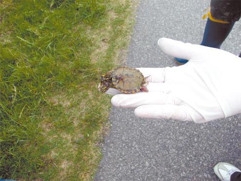 Filhote encontrado �s margens da BR-392: cientistas estudaram animais mortos na rodovia para tra�ar perfil alimentar da tartaruga-tigre-�gua (EM/D.A Press)