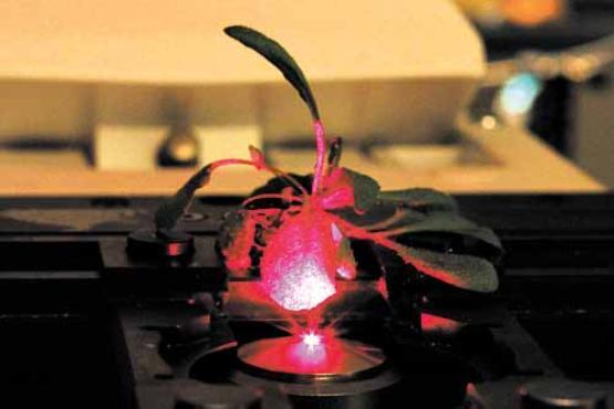 A Arabidopsis thaliana, planta utilizada no estudo: capacidade de produção energética ampliada em 30% (Juan Pablo Giraldo/Divulgação)