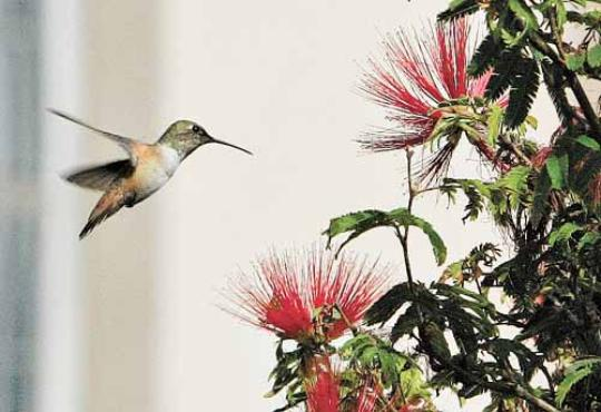 Espécime se aproxima de flor: esses pássaros costumam se alimentar de néctar e pequenos insetos (Fred Prouser/Reuters - 11/8/2009)