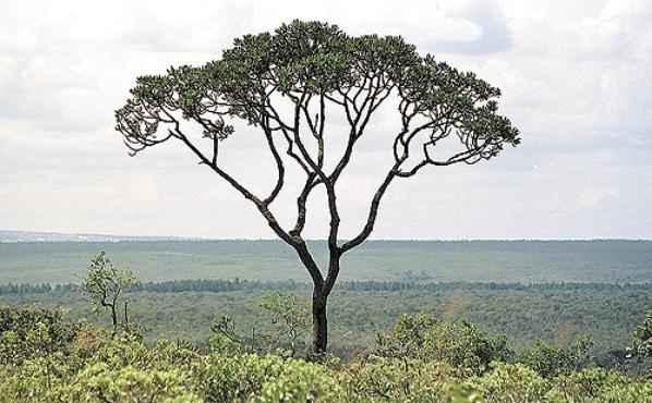 Legislação permite o desmatamento legal de 400 mil quilômetros quadrados de cerrado (Edílson Rodrigues/CB/D.A Press - 10/4/03)