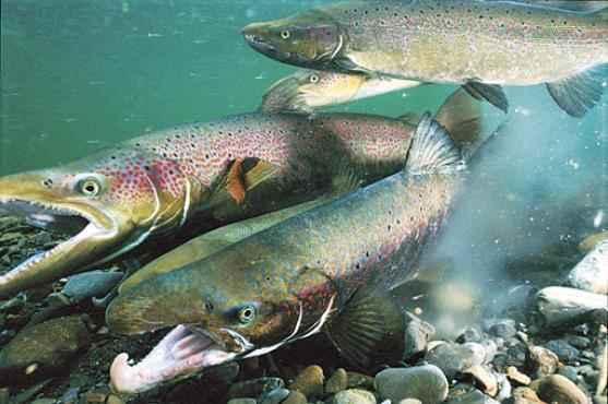 O salmão-atlântico: dados devem ajudar a tornar a pesca mais sustentável (Paul Nicklen/Reuters - 13/2/2004)