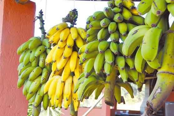 Na pesquisa realizada em Minas Gerais, a equipe produziu a farinha a partir da banana-prata semiverde (Paulo Filgueiras/EM/D.A Press)