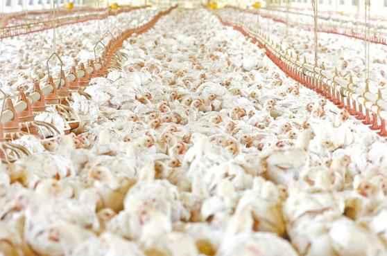 Aves de granja recebem uma dieta composta por vitaminas, ácidos graxos, aminoácidos e até antibióticos: combinação segue padrões internacionais