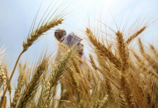 A produção do trigo caiu 5,5% em oito anos: o sequenciamento pode ajudar a reverter o problema