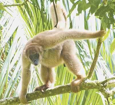 Muriquis e outros primatas desaparecem principalmente das regiões tropicais