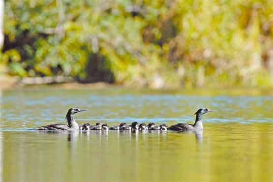 Uma das famílias acompanhadas desliza sobre as águas: geralmente, os filhotes vivem na companhia dos pais até os 8 meses (Adriano Gambarini/Divulgação)