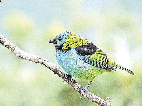 O desmatamento ameaça a sobrevivência de várias espécies de pássaros que habitam a mata, como o saíra-sete-cores