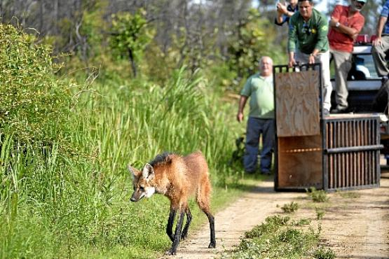 Lobo-guará é solta no Parque Nacional de Brasília:  preservação do cerrado é o objetivo de duas propostas de parlamentares (Marcelo Ferreira/CB/D.A Press - 16/2/18)