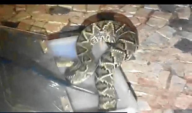 A cascavel encontrada na casa da conselheira tutelar Robéria Santos, no Guará, tinha aproximadamente 1,50 metro (Arquivo Pessoal)