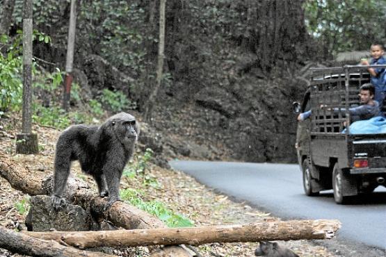 Macaco-mouro aguarda alimento em uma estrada da Indonésia: machos são mais propensos a correr esse risco (UGA/Divulgação )