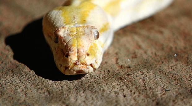 A píton albina, de pele amarelada, pesa 16,7kg e tem 3,92m (Ana Rayssa/CB/D.A Press)