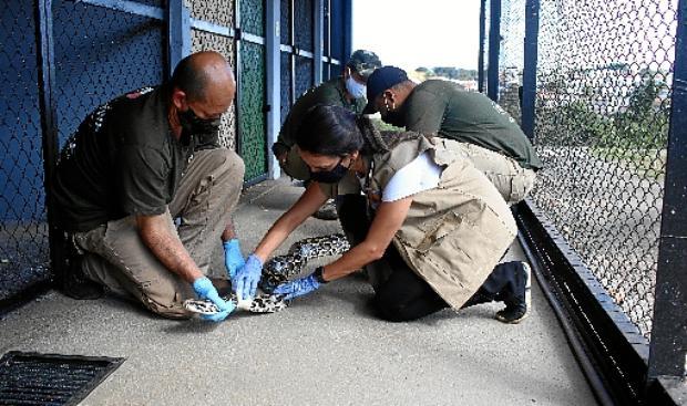 Cobras estão sendo tratadas com antibióticos, banhos com bactericidas e banhos de sol (Ana Rayssa/CB/D.A Press)
