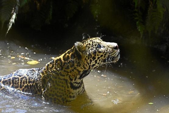 Sansão é um dos animais mais velhos no santuário Nex. Apesar da idade, a onça macho mantêm o instinto de caça (Marcelo Ferreira/CB/D.A Press)