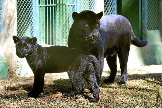 Gabriela deu a luz ao filhote Oxóssi, no criadouro, em março (Marcelo Ferreira/CB/D.A Press)