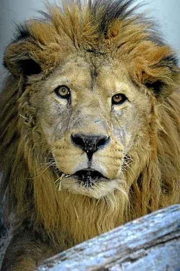 Dengo, um dos animais mais encantadores do Zoo de Bras�lia, morreu ontem, perto de completar 16 anos. O le�o sofreu maus-tratos num circo e contraiu v�rias doen�as. O drama do felino comoveu veterin�rios e tratadores. (Carlos Vieira/CB/D.A Press)
