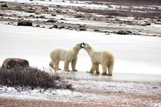 Ursos polares perto da tundra que nasce no Ártico: verões curtos fazem com que sequestro de CO2 pelas plantas seja pequeno (Steven C. Amstrup/Divulgação - 14/12/10)